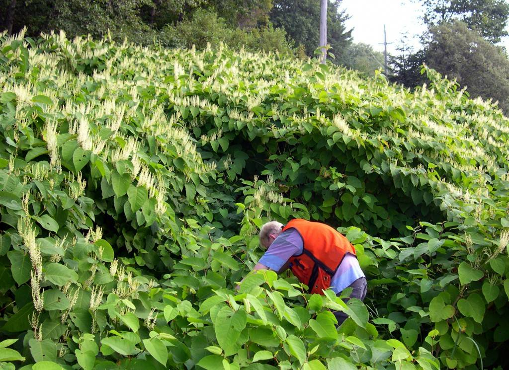 A corridor cleared for power poles is overgrown with invasive Japanese knotweed. (Invasive Species Council of B.C.)
